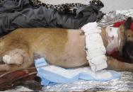 Armádní pes schytal 4 střelné rány, aby zachránil svého psovoda