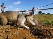 Při likvidaci minových polí pomáhají i speciálně vycvičené krysy