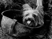 Smoky: Slavná druhoválečná psí veteránka a první terapeutický pes