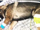 Služební pes Arlo byl postřelen během policejního zásahu. Nyní se zotavuje po dvou operacích