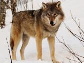 Zvířecí problém za velké války: Pobití ruských vlků v roce 1917