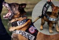 Výcvik policejního psa K-9